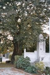Opgaande bruine beuk als vredesboom en oorlogsmonument