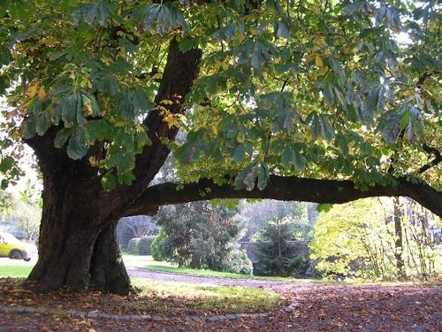 Paardenkastanje in het park, één van de weinige 19de-eeuwse bomen bij het Hof van Zittert