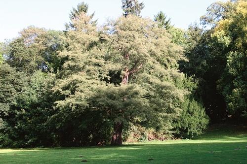 Zwarte els met ingesneden bladeren (Alnus glutinosa 'Imperialis') nabij de Vriendschapstempel in de Nationale Plantentuin van Meise