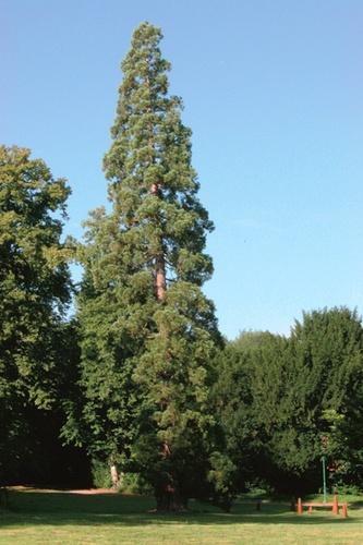 Mamoetboom in de Nationale Plantentuin