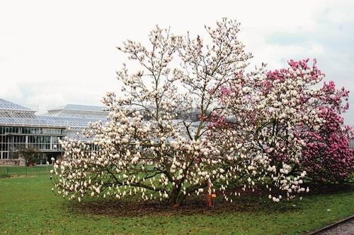 Magnolia 'Manchu Fu', een Greshamhybride in de magnoliacollectie van de Nationale Plantentuin van Meise