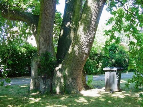 Eeuwenoude, veelstammige zomereik in de omgeving van het kasteel van Ham
