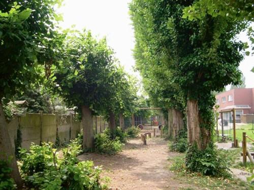 Geknotte zomerlinden en Italiaanse populieren, restanten van een laantje langs de rand van de achtertuin