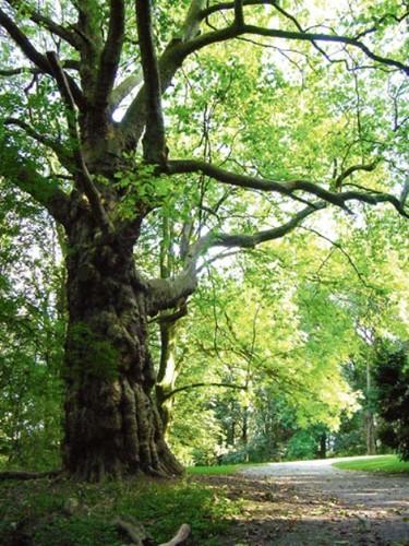 Deze plataan behoort tot de oudste generatie bomen in het domein Drie Fonteinen