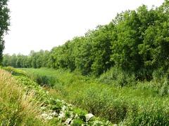 Dijkbeplanting met okkernoten in Koolput Bemden
