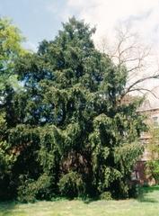 Californische torreya in het park van Ast