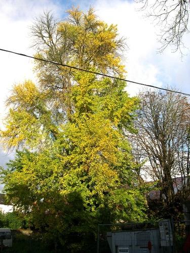 Tienen Danebroekstraat Augustijnenklooster Japanse Notenboom