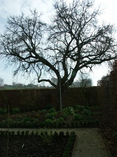 Zwalm St Blasius Boekel Bosseveld 2 Zwarte moerbei op boerenerf