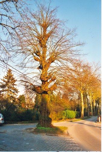 Sint-Martens-Latem Deurle Gekandelaarde linde (2)