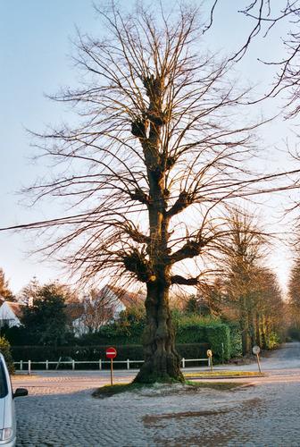 Sint-Martens-Latem Deurle Gekandelaarde linde (3)