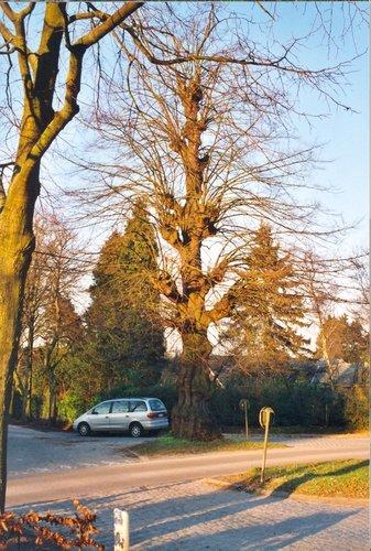 Sint-Martens-Latem Deurle Gekandelaarde linde (4)