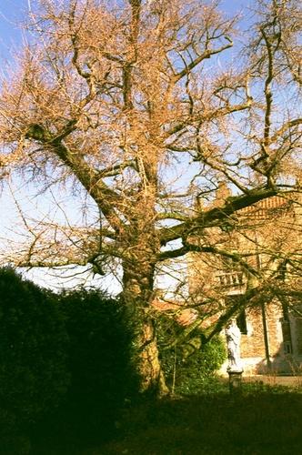 Maldegem Noordstraat 15 Japanse notenboom (1)