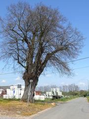 Linde met boomkapel