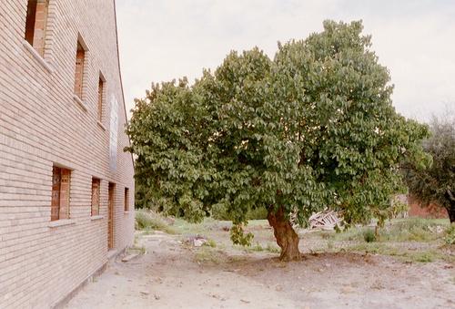 Aalst Moorsel Kapittelstraat 48 Moerbeiboom (1)