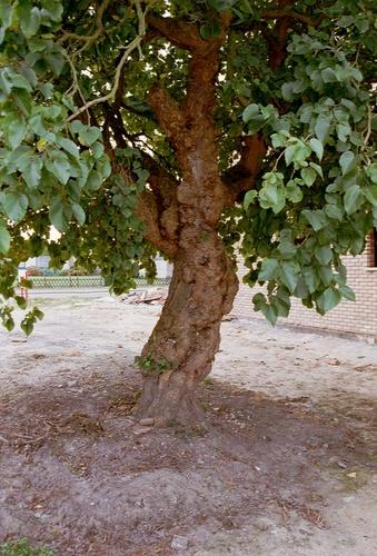 Aalst Moorsel Kapittelstraat 48 Moerbeiboom (3)
