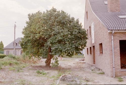 Aalst Moorsel Kapittelstraat 48 Moerbeiboom (4)