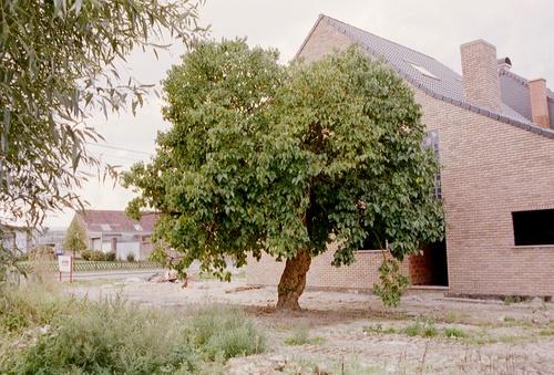 Aalst Moorsel Kapittelstraat 48 Moerbeiboom (5)