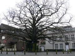 Opgaande bruine beuk als vrijheidsboom