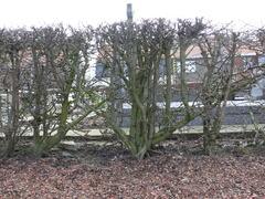 Gekruiste meidoornhaag als kerkhofbeplanting