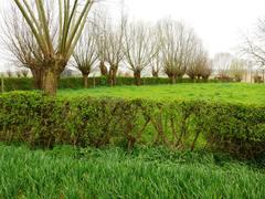 Gekruiste meidoornhaag met knotbomen als veekering