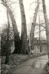 Canadapopulier in park Sint-Adriaansabdij