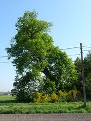Opgaande Grote Linde als welkomstboom bij hoeve De Grote Linde