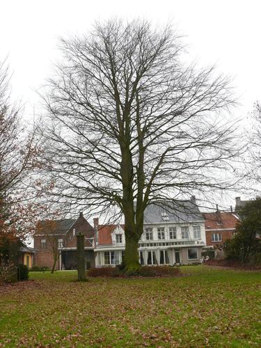 Sint-Maria-Horebeke Dorpsstraat 39 Breune beuk (1)