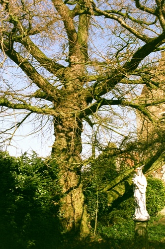 Maldegem Noordstraat 15 Japanse notenboom (2)