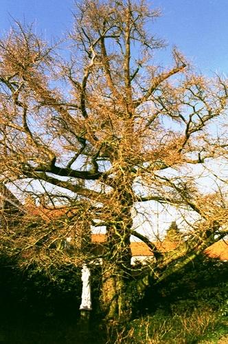 Maldegem Noordstraat 15 Japanse notenboom (3)