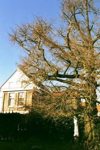 Maldegem Noordstraat 15 Japanse notenboom (4)