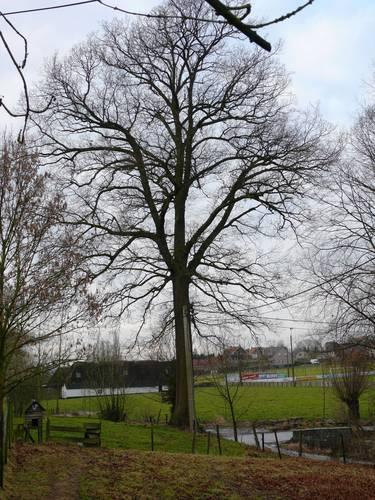 Maarkedal Hollebeek Opgaande eik (1)