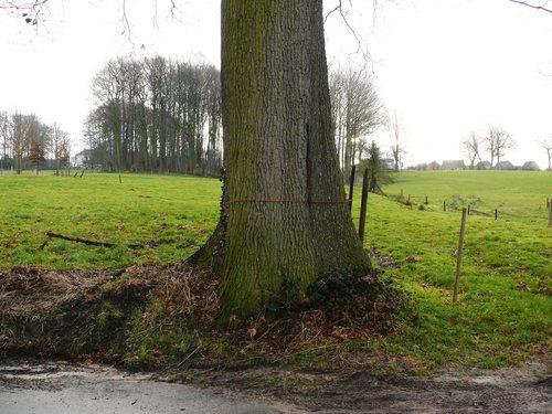 Maarkedal Hollebeek Opgaande eik (4)