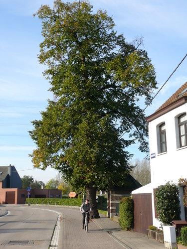 Mechelen Leest Pastoor De Heuckstraat Kapellinde (8)