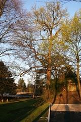 Opgaande amberboom bij ziekenhuis Maria Middelares