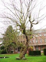 Trompetboom in de tuin van 't Strop