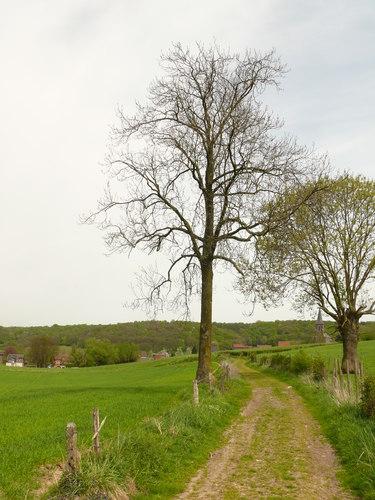 Voeren Mostert opgaande es als hoekboom langs voetweg naar Varen