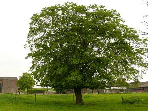 Sint-Martens-Voeren Schilberg knothaagbeuk als erfbeplanting