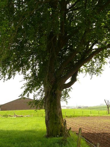 Sint-Martens-Voeren Schilberg beuk als hoekboom en erfbeplanting