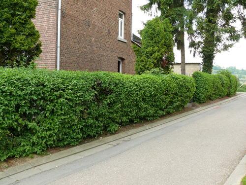 Sint-Martens-Voeren Sint-Pieterstraat geschoren haag van gele kornoelje