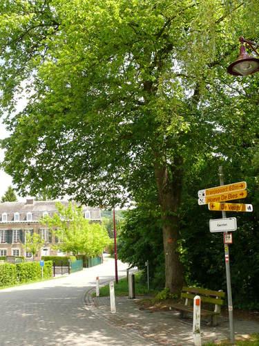 Sint-Martens-Voeren Kwinten opgaande linde