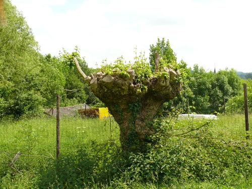 Sint-Martens-Voeren Komberg knotbomenrij met onder meer veldesdoorn