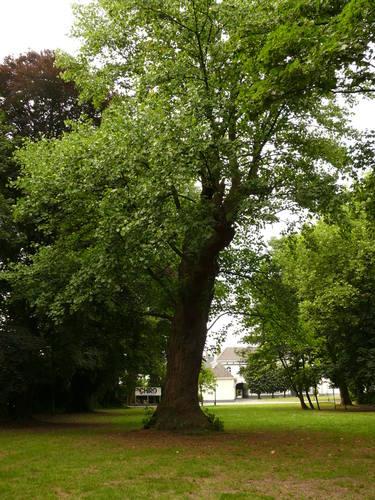 Berlare Overmere Baron Tibbautstraat 2 Tulpenboom (3)