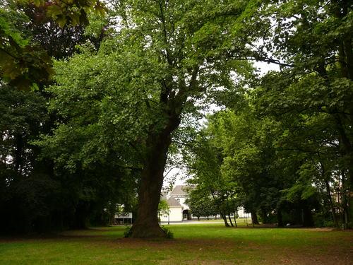 Berlare Overmere Baron Tibbautstraat 2 Tulpenboom (4)
