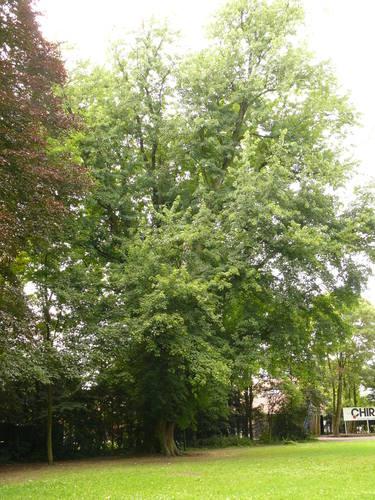 Berlare Overmere Baron Tibbautstraat 2 Zilveresdoorn (2)