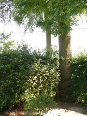 Opgaande es als hoekboom bij boerenarbeidershuisje