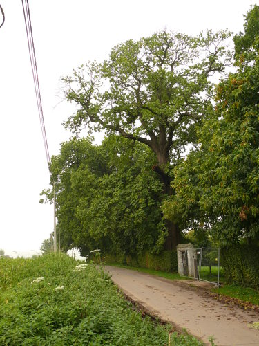Maarkedal Bossenaarstraat 14 Bomenrij van tamme kastanje bij het Hof te Cattebeke (1)