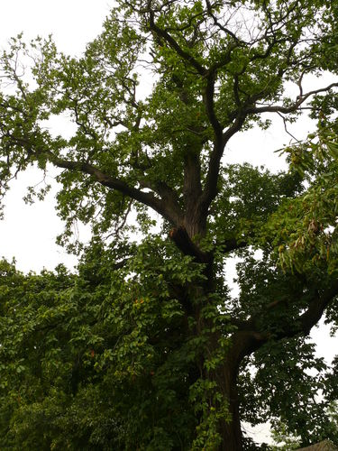 Maarkedal Bossenaarstraat 14 Bomenrij van tamme kastanje bij het Hof te Cattebeke (3)