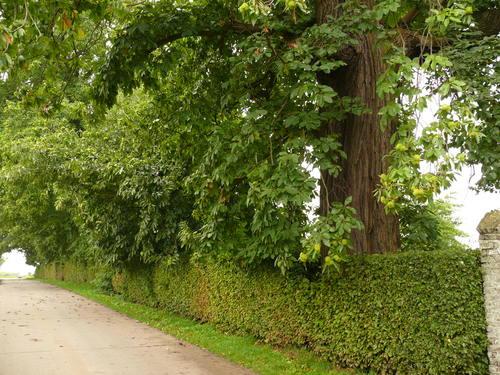 Maarkedal Bossenaarstraat 14 Bomenrij van tamme kastanje bij het Hof te Cattebeke (4)