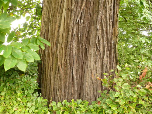 Maarkedal Bossenaarstraat 14 Bomenrij van tamme kastanje bij het Hof te Cattebeke (5)