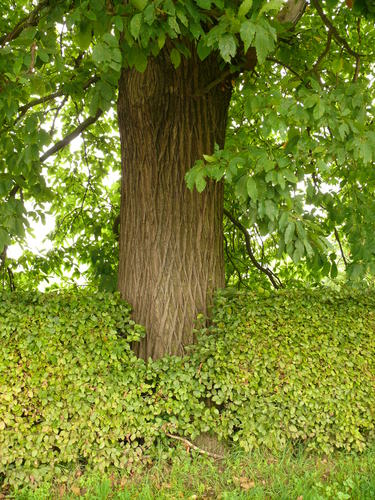 Maarkedal Bossenaarstraat 14 Bomenrij van tamme kastanje bij het Hof te Cattebeke (7)